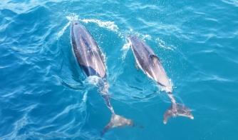 NZ Dusky Delfine