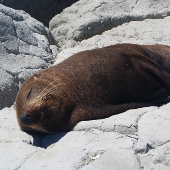 NZ Schlafende Robbe