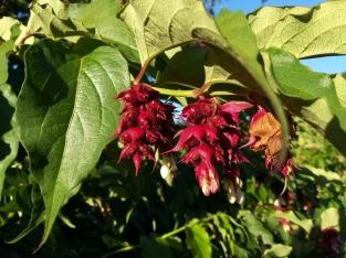NZ Tarawera Blüte