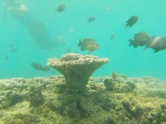 Vanuatu Koralle