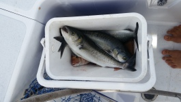 NZ Sechs Fische