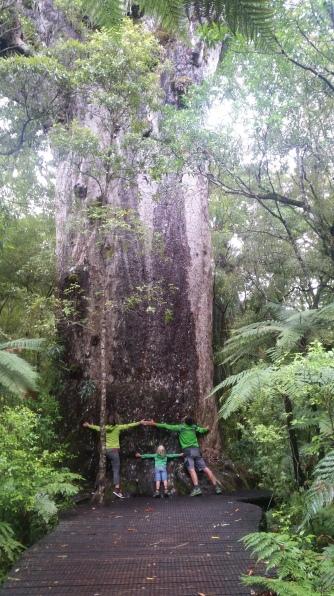 NZ Kauri umarmen