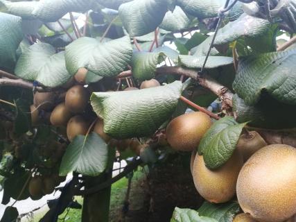 NZ Kiwifruechte