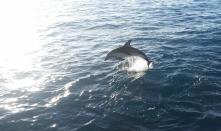 Delfin im Morgenlicht