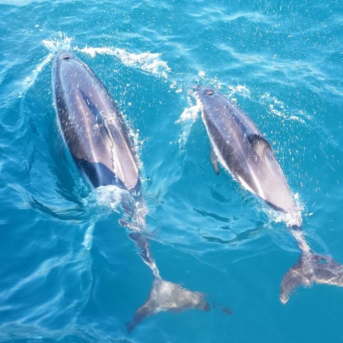 Delfine beim Auftauchen