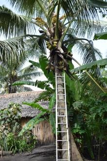 Kokosnüsse ernten