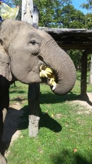 Elefantendame Ikam verspeist kompletten Bananenbueschel