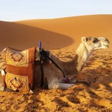 Kamel bereit zum Aufsteigen
