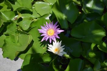 Lotus auf den Marmorbergen