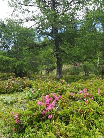 Pärchen und Alpenrosen