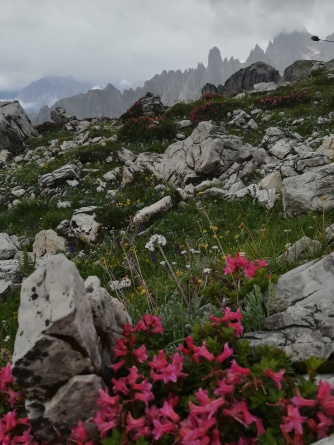 Alpenrosen im Nebel